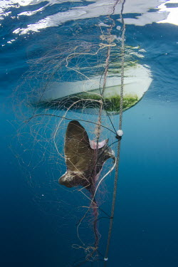 An exhausted bat ray hangs in a gill net intended for halibut. bycatch,Bat ray,Myliobatis californicus,Cartilaginous Fishes,Chondrichthyes,True rays and Skates,Rajiformes,Chordates,Chordata,Myliobatis californica,Raya Murci�lago,Tecolote,Poncho Gris,Myliobatis,IU