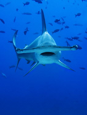 The scalloped hammerhead (Sphyrna lewini) is hunted for its fins for shark fin soup. galapagos,Animalia,Near Threatened,Indian,Pacific,Carcharhiniformes,Ocean,Atlantic,Sphyrnidae,Chordata,Coral reef,Chondrichthyes,Aquatic,lewini,Carnivorous,Estuary,Coastal,Sphyrna,IUCN Red List,Endang