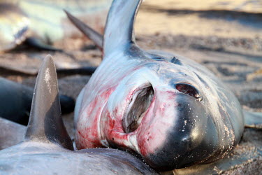 Shark Fishery in the Gulf of California, Mexico.