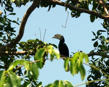 Palawan hornbill in habitat Adult,Chordata,Omnivorous,Tropical,Anthracoceros,Aves,Terrestrial,Coraciiformes,Flying,Sub-tropical,Vulnerable,Agricultural,Bucerotidae,Asia,Animalia,Appendix II,marchei,Mangrove,IUCN Red List
