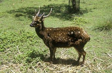 Visayan spotted deer Adult,Cervidae,Deer,Even-toed Ungulates,Artiodactyla,Chordates,Chordata,Mammalia,Mammals,Terrestrial,Animalia,Endangered,Asia,Rusa,Cetartiodactyla,Herbivorous,alfredi,IUCN Red List