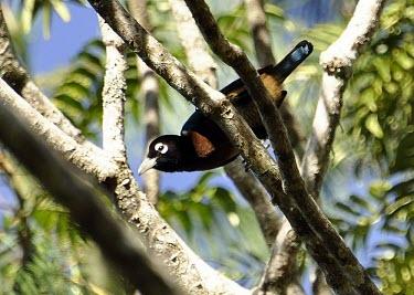 Blue bird-of-paradise perched Habitat,Species in habitat shot,Adult,Bird-of-paradise,Paradisaeidae,Perching Birds,Passeriformes,Chordates,Chordata,Aves,Birds,rudolphi,Appendix II,Vulnerable,Herbivorous,Sub-tropical,Flying,Asia,Par