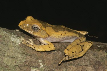 Boophis madagascariensis; side profile Adult,Species in habitat shot,Habitat,Terrestrial,Amphibia,Fresh water,IUCN Red List,Chordata,Least Concern,Mantellidae,Africa,Forest,Sub-tropical,Anura,Wetlands,Aquatic,Tropical,Animalia,Boophis,Omni