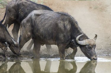 Female cape buffalo drinking Adult,Adult Female,Animalia,Bovidae,Chordata,Terrestrial,caffer,Least Concern,Syncerus,Africa,Desert,Mammalia,Sub-tropical,Cetartiodactyla,Herbivorous,Rainforest,Savannah,IUCN Red List