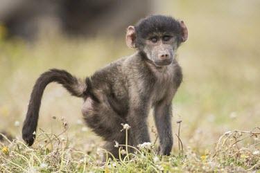 Baby chacma baboon Infant,Old World Monkeys,Cercopithecidae,Chordates,Chordata,Mammalia,Mammals,Primates,ursinus,Omnivorous,Rock,Appendix II,Least Concern,Africa,Animalia,Arboreal,Papio,Sub-tropical,Terrestrial,Scrub,Gr
