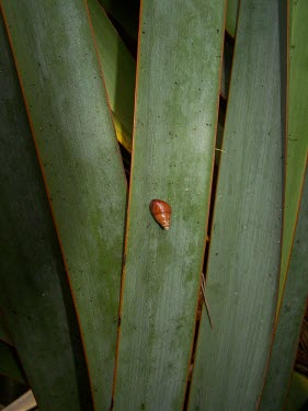 Partulina variabilis North America,IUCN Red List,Partulina,Achatinellidae,Arboreal,Gastropoda,Mollusca,Endangered,Animalia,Forest,Terrestrial,Stylommatophora,Herbivorous