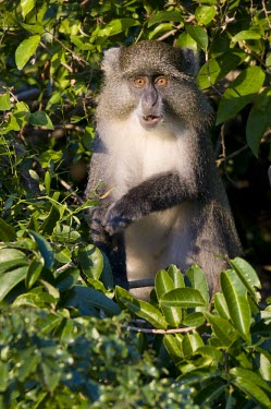 Samango monkey feeding in a tree Feeding behaviour,Adult,Feeding,Species in habitat shot,Habitat,Mammalia,Terrestrial,Animalia,Omnivorous,Cercopithecidae,Chordata,Least Concern,Forest,Africa,Primates,Cercopithecus,IUCN Red List
