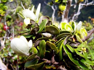 Perdicella helena Gastropoda,Terrestrial,Endangered,Perdicella,Achatinellidae,Stylommatophora,helena,North America,Mollusca,Animalia,IUCN Red List