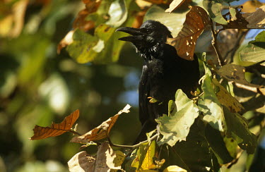 Jungle/large-billed crow in autumn leaves calling