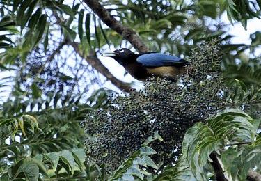 Blue bird-of-paradise feeding Habitat,Adult,Feeding,Feeding behaviour,Species in habitat shot,Bird-of-paradise,Paradisaeidae,Perching Birds,Passeriformes,Chordates,Chordata,Aves,Birds,rudolphi,Appendix II,Vulnerable,Herbivorous,Su