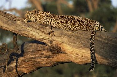 Leopard relaxing on fallen trunk Chordates,Chordata,Felidae,Cats,Mammalia,Mammals,Carnivores,Carnivora,Temperate,Savannah,Asia,Appendix I,Carnivorous,Panthera,Near Threatened,Africa,Terrestrial,Rainforest,Animalia,IUCN Red List