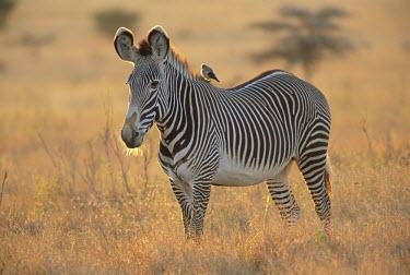 Grevy's zebra Habitat,Adult,Species in habitat shot,Perissodactyla,Odd-toed Ungulates,Chordates,Chordata,Mammalia,Mammals,Equidae,Horses, Donkeys, Zebras,Appendix I,grevyi,Savannah,Terrestrial,Animalia,Equus,Semi-d