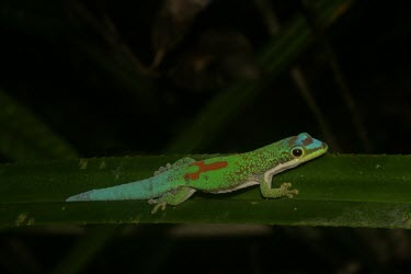 Day gecko Habitat,Adult,Species in habitat shot,Reptilia,Rainforest,Chordata,Carnivorous,antanosy,Africa,Sub-tropical,Arboreal,Appendix II,Gekkonidae,Tropical,Phelsuma,Squamata,Animalia,Critically Endangered,IU