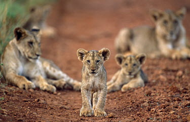 Lion cubs on track Felidae,Cats,Mammalia,Mammals,Carnivores,Carnivora,Chordates,Chordata,leo,Animalia,Savannah,Africa,Scrub,Appendix II,Asia,Panthera,Vulnerable,Desert,Terrestrial,Carnivorous,IUCN Red List