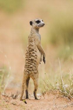 Meerkat on lookout duty Adult,Defence behaviours,Survival Adaptations,Herpestidae,Mongooses, Meerkat,Carnivores,Carnivora,Mammalia,Mammals,Chordates,Chordata,Subterranean,Sand-dune,Savannah,Africa,Terrestrial,Desert,Carnivor
