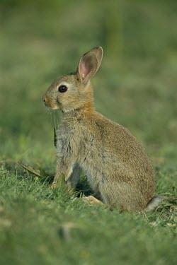 Young rabbit Juvenile,Survival Adaptations,Rabbits, Hares,Leporidae,Mammalia,Mammals,Lagomorpha,Hares and Rabbits,Chordates,Chordata,Herbivorous,Africa,Common,Scrub,North America,cuniculus,Oryctolagus,South Americ