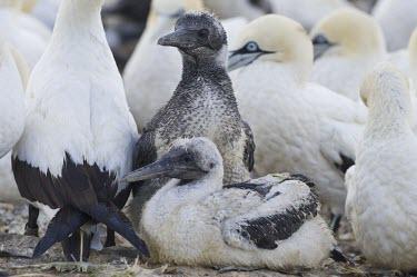 Cape gannet chicks Species in habitat shot,Habitat,Chick,Terrestrial,Sulidae,Shore,Carnivorous,Atlantic,Aves,Ocean,Indian,Vulnerable,Africa,Coastal,Flying,Pelecaniformes,Chordata,Animalia,Morus,capensis,IUCN Red List