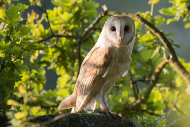 Barn owl in oak tree Magnoliophyta,Flowering Plants,Fagaceae,Beech Family,Fagales,Magnoliopsida,Dicots,Plantae,Terrestrial,Europe,Broadleaved,Anthophyta,Common,Photosynthetic,Least Concern,Quercus,robur,IUCN Red List