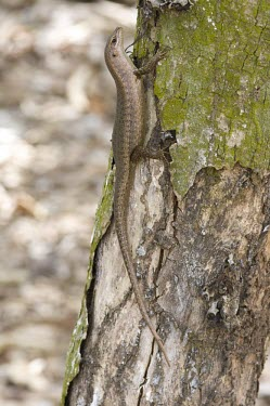 Wright's skink on tree Adult,Species in habitat shot,Habitat,Squamata,Africa,Animalia,Sub-tropical,Vulnerable,Trachylepis,Chordata,Tropical,Terrestrial,wrightii,Scincidae,Reptilia,IUCN Red List