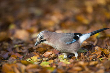 Jay on fallen beech leaves Fagales,Magnoliopsida,Dicots,Magnoliophyta,Flowering Plants,Fagaceae,Beech Family,Fagus,Common,Broadleaved,Anthophyta,Photosynthetic,Terrestrial,Plantae,Europe