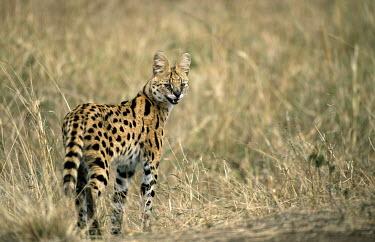 Serval cat (Felis serval) Masai Mara National Reserve, Kenya