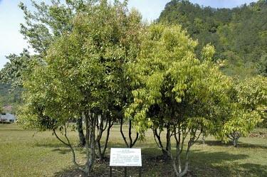 Cinnamomum osmophloeum, mature trees Mature form,Broadleaved,Temperate,Cinnamomum,IUCN Red List,Vulnerable,Tracheophyta,Lauraceae,Plantae,Forest,Sub-tropical,Laurales,Photosynthetic,Asia,Terrestrial,Magnoliopsida