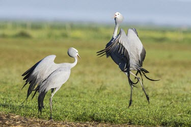 Blue crane pair performing bonding display dance Courtship and Displays,Reproduction,Gruiformes,Chordata,Gruidae,Omnivorous,Africa,paradisea,Savannah,Appendix II,Terrestrial,Wetlands,Animalia,Anthropoides,Aves,Vulnerable,Flying,IUCN Red List