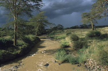 Uaso Nyiro River and yellow thorn / fever trees in storm light