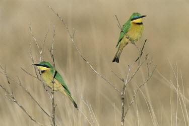 Little bee-eaters Africa,Terrestrial,Least Concern,Animalia,Aves,Coraciiformes,Carnivorous,Chordata,Meropidae,Merops,IUCN Red List
