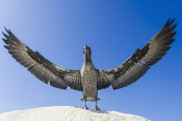Juvenile Cape Gannet flapping its wings in preparation of first flight Take-off,Locomotion,Immature Adult,Flying,Terrestrial,Sulidae,Shore,Carnivorous,Atlantic,Aves,Ocean,Indian,Vulnerable,Africa,Coastal,Pelecaniformes,Chordata,Animalia,Morus,capensis,IUCN Red List