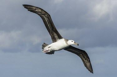 Immature Shy Albatross in flight Flying,Locomotion,Chordates,Chordata,Aves,Birds,Albatrosses,Diomedeidae,Ciconiiformes,Herons Ibises Storks and Vultures,Thalassarche,Terrestrial,cauta,Australia,Shore,Animalia,Carnivorous,Near Threate