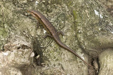 Wright's skink; dorsal view Species in habitat shot,Adult,Habitat,Squamata,Africa,Animalia,Sub-tropical,Vulnerable,Trachylepis,Chordata,Tropical,Terrestrial,wrightii,Scincidae,Reptilia,IUCN Red List
