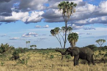 African elephants and doum palms
