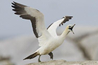 Cape gannet taking off Species in habitat shot,Locomotion,Habitat,Take-off,Flying,Adult,Terrestrial,Sulidae,Shore,Carnivorous,Atlantic,Aves,Ocean,Indian,Vulnerable,Africa,Coastal,Pelecaniformes,Chordata,Animalia,Morus,capen