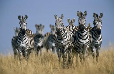 Common zebra (Equus quagga) on alert, Masai Mara National Reserve, Kenya Least Concern,quagga,Streams and rivers,Mammalia,Perissodactyla,Ponds and lakes,Equidae,Equus,Africa,Terrestrial,Savannah,Herbivorous,Temporary water,Chordata,Animalia,IUCN Red List