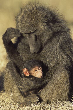 Olive baboon mother with baby Primates,Old World Monkeys,Cercopithecidae,Mammalia,Mammals,Chordates,Chordata,Appendix II,Least Concern,Omnivorous,Terrestrial,Forest,Animalia,anubis,Papio,Africa,IUCN Red List