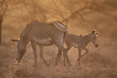 Grevy's zebra mother and foal at dawn Perissodactyla,Odd-toed Ungulates,Chordates,Chordata,Mammalia,Mammals,Equidae,Horses, Donkeys, Zebras,Appendix I,grevyi,Savannah,Terrestrial,Animalia,Equus,Semi-desert,Herbivorous,Africa,Endangered,IU