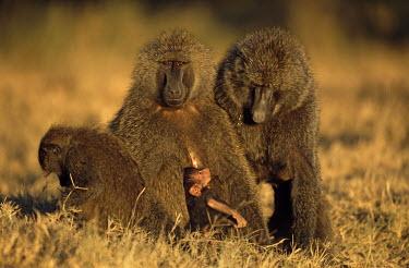 Olive baboon family Primates,Old World Monkeys,Cercopithecidae,Mammalia,Mammals,Chordates,Chordata,Appendix II,Least Concern,Omnivorous,Terrestrial,Forest,Animalia,anubis,Papio,Africa,IUCN Red List