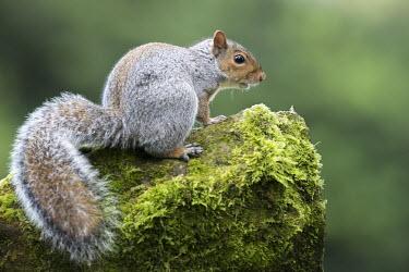 Grey squirrel on moss-covered sandstone Rodents,Rodentia,Squirrels, Chipmunks, Marmots, Prairie Dogs,Sciuridae,Chordates,Chordata,Mammalia,Mammals,Temperate,Terrestrial,Omnivorous,Sciurus,carolinensis,Arboreal,North America,Common,Animalia,