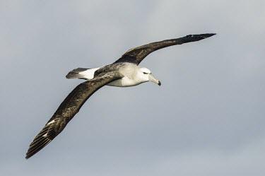 Shy Albatross in flight Flying,Locomotion,Chordates,Chordata,Aves,Birds,Albatrosses,Diomedeidae,Ciconiiformes,Herons Ibises Storks and Vultures,Thalassarche,Terrestrial,cauta,Australia,Shore,Animalia,Carnivorous,Near Threate
