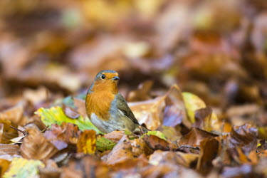 Robin on fallen beech leaves Fagales,Magnoliopsida,Dicots,Magnoliophyta,Flowering Plants,Fagaceae,Beech Family,Fagus,Common,Broadleaved,Anthophyta,Photosynthetic,Terrestrial,Plantae,Europe