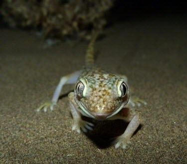 Middle Eastern short-fingered gecko front view Adult,Carnivorous,Reptilia,Asia,Desert,Least Concern,Stenodactylus,Chordata,Africa,Terrestrial,IUCN Red List,Animalia,Gekkonidae,Squamata