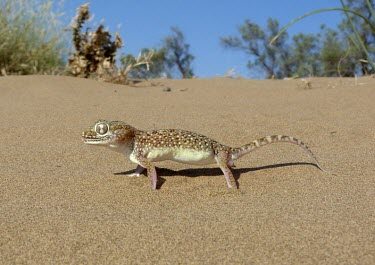 Middle Eastern short-fingered gecko on sand Species in habitat shot,Adult,Habitat,Carnivorous,Reptilia,Asia,Desert,Least Concern,Stenodactylus,Chordata,Africa,Terrestrial,IUCN Red List,Animalia,Gekkonidae,Squamata