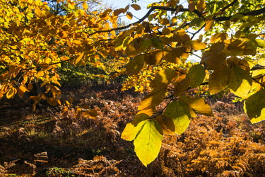 Beech leaves and heathland in autumn Fagales,Magnoliopsida,Dicots,Magnoliophyta,Flowering Plants,Fagaceae,Beech Family,Fagus,Common,Broadleaved,Anthophyta,Photosynthetic,Terrestrial,Plantae,Europe