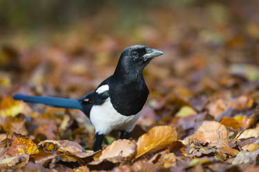 Magpie on fallen beech leaves Fagales,Magnoliopsida,Dicots,Magnoliophyta,Flowering Plants,Fagaceae,Beech Family,Fagus,Common,Broadleaved,Anthophyta,Photosynthetic,Terrestrial,Plantae,Europe