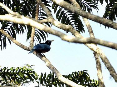 Blue bird-of-paradise perched Adult,Bird-of-paradise,Paradisaeidae,Perching Birds,Passeriformes,Chordates,Chordata,Aves,Birds,rudolphi,Appendix II,Vulnerable,Herbivorous,Sub-tropical,Flying,Asia,Paradisaea,Arboreal,Rainforest,Anim