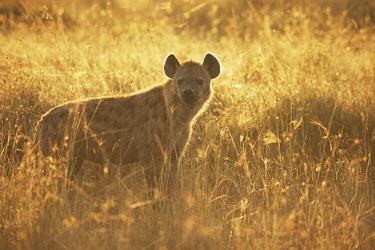 Spotted hyena at dawn Chordates,Chordata,Hyaenidae,Hyenas, Aardwolves,Carnivores,Carnivora,Mammalia,Mammals,Savannah,crocuta,Carnivorous,Least Concern,Africa,Tropical,Desert,Sub-tropical,Crocuta,Animalia,IUCN Red List