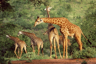 Maasai giraffes (Giraffa camelopardalis) Even-toed Ungulates,Artiodactyla,Chordates,Chordata,Mammalia,Mammals,Giraffidae,Giraffes,Terrestrial,Africa,Cetartiodactyla,Savannah,Herbivorous,Endangered,camelopardalis,Animalia,Giraffa,Least Concer