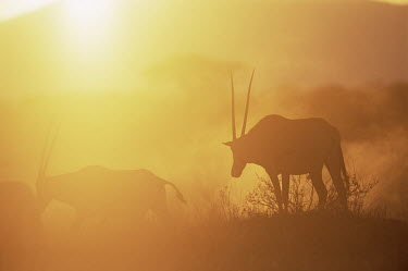 Beisa oryx at sunset Bovidae,Bison, Cattle, Sheep, Goats, Antelopes,Chordates,Chordata,Mammalia,Mammals,Even-toed Ungulates,Artiodactyla,gazella,Herbivorous,Africa,Savannah,Desert,Animalia,Least Concern,Terrestrial,Cetart