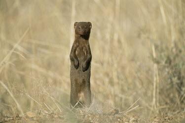Dwarf mongoose on alert Chordates,Chordata,Herpestidae,Mongooses, Meerkat,Carnivores,Carnivora,Mammalia,Mammals,Animalia,Helogale,parvula,Omnivorous,Grassland,Least Concern,Desert,Terrestrial,Scrub,Africa,IUCN Red List